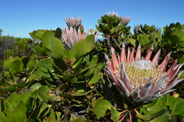 Proteas that were still peeking through, despite that it was getting colder. This is the national flower of South Africa!