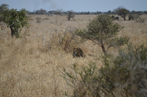 The first male lion we saw - incredible...