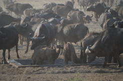 A huge family of water buffalo...