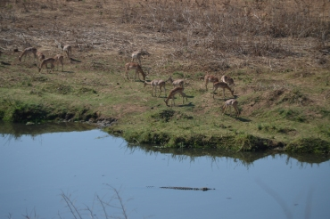 Impala are so cute! (And notice the croc in the water?? Eek!)