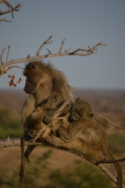 A super cute family of baboons...
