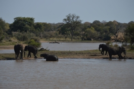 Teenage elephants, playing in the river!