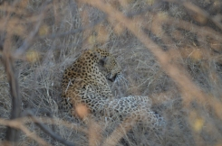 An incredible, elusive leopard, right by the road. Amazing.