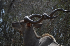 The majestic kudu!