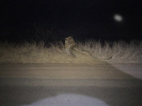 A lion, chilling on the side of the road, at night.