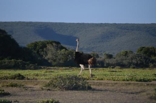 Massive ostrich!