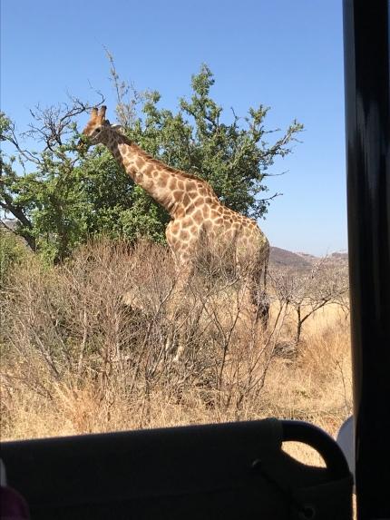 Huge giraffe!