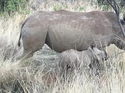 BIG rhino w/ it's teeny BABY!