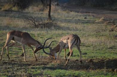 Impalas 'training'