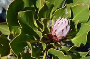 A beautiful protea flower at Kirstenbosch, the national flower of South Africa!