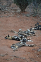 *JON'S FAVORITE* Wild dogs!
