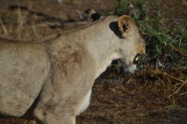 Mama lion!