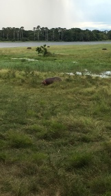 A hippo, just hanging out in the marsh outside of our room!