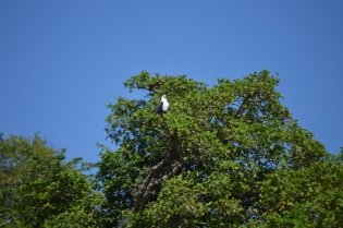 The African Fish Eagle (what is mistakenly thought of as the national bird of Malawi) was there to say bye to us on our boat ride out of the park!