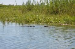 Just a floating croc, no big deal...
