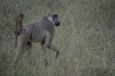 Troublemaking baboon...