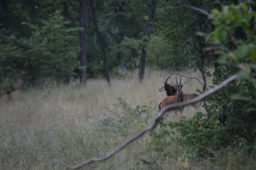 The mystical sable - we've NEVER seen one in the wild!