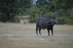 Big buffalo bull we saw on our first drive. Massive animals!