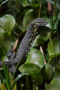 Woah, this Water Monitor Lizard was no joke.