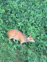 This little reedbuck was hanging out just under our dining room. The cutest!