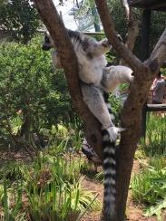 Cute lemurs!