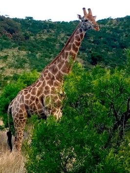 Pretty giraffe!