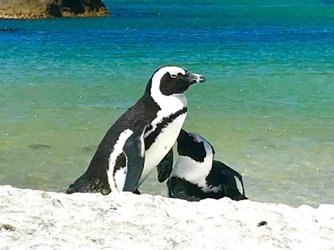 Pinguins at Boulders Beach!