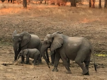 Oh, you know, just a baby elephant and her bodyguards... (Mom is the one closest to us...)