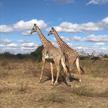 An incredible group of giraffes, looking all majestic and stuff...