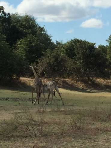Some giraffe teens, horsing around!