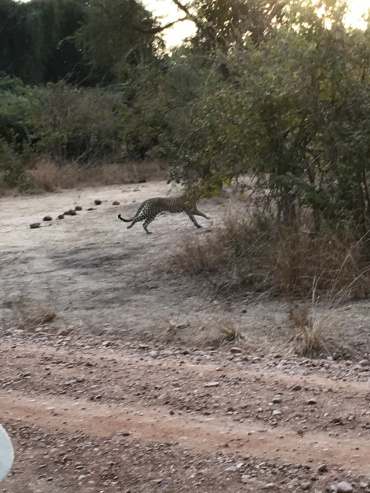 The leopard, running!