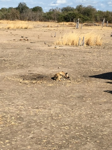 Hard to see, but he's lying on the ground, like a house dog would do, with his head on his paws...