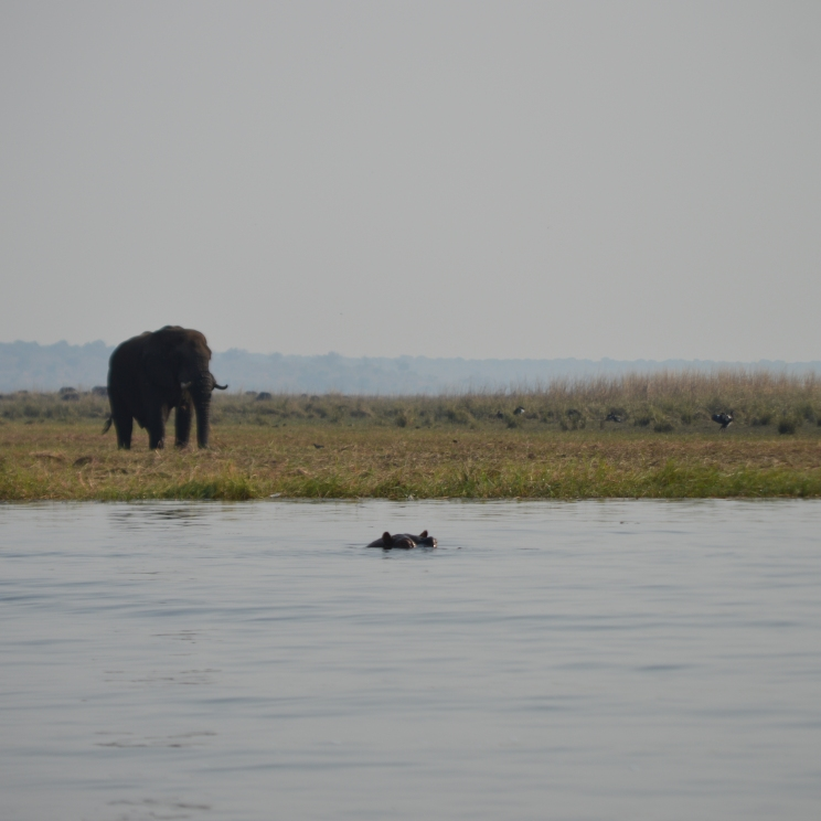 Big elephant (with a subtle hippo, swimming)...