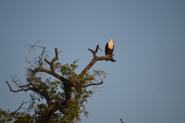 An African Fish Eagle - so cool!