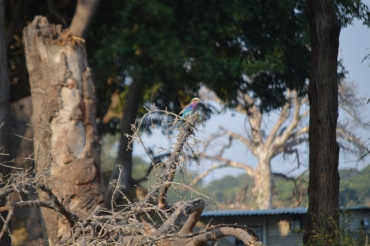 The lilac-breasted roller - my favorite bird!