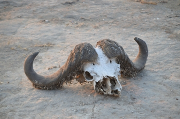 And, on our way out, an intact buffalo skull. Wow.