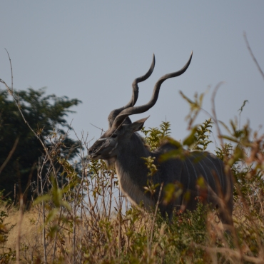 Amazing male kudu.