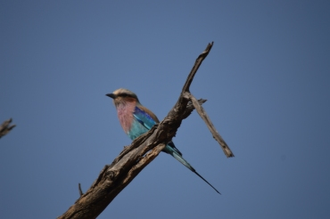 Great shot of a lilac-breasted roller!