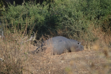 The laziest hippo ever. (And this was on the land drive!)