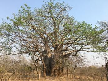 An amazing baobab.
