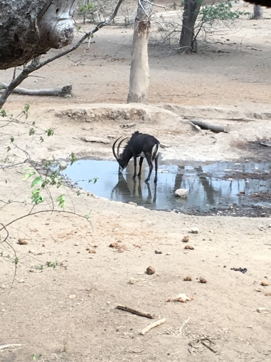 The lone sable at the watering hole!