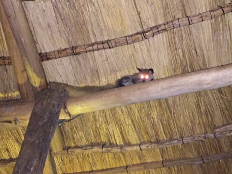 Back at the lodge, there's a resident bushbaby that loves to hang out...