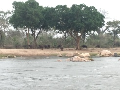 A nice herd of buffalo that we observed on our boat ride!