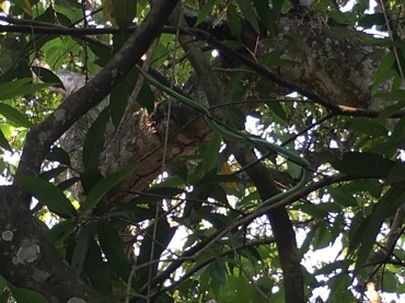 Hard to tell but in the center, slightly near the top, there's the start of a green mamba, wrapping around a branch (going down to the right and then bending back down to the left)... A venomous snake that lives in Malawi!