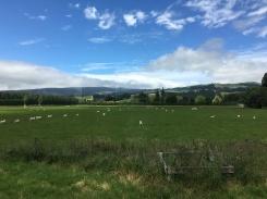 So.Many.Sheep.
