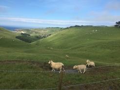 More sheep!